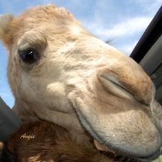 Curious Camel