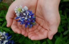 Bluebonnet in Hand